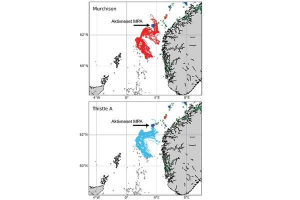 """Simulations run by the INSITE Phase 1 project """"ANChor"""" show the oceanic pathways that protected corals of Lophelia pertusa from the Thistle A and the (now derogated) Murchison platforms may follow, including some of which end up settling in Norway's Aktivneset marine protected area. Image from the INSITE Phase 1 ANChor project."""